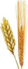 wheat+barley